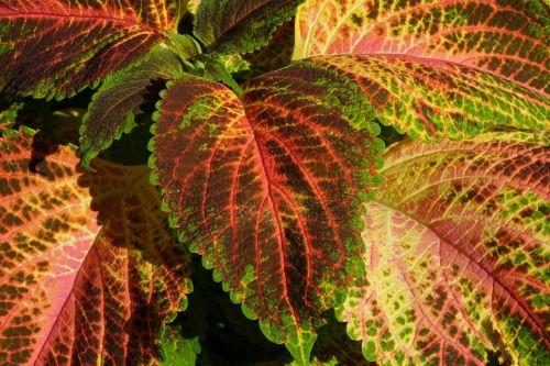 colorful nettle nettle plant