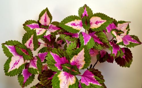 colorful nettle lamiaceae houseplant