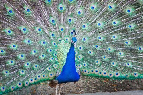 Colorful Peacock Plumage