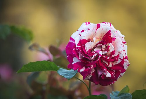 colors  variety  rose