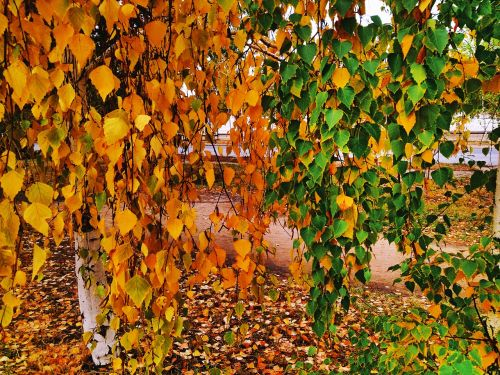 colors of autumn birch autumn