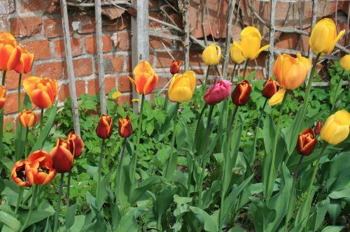 Coloured Tulips