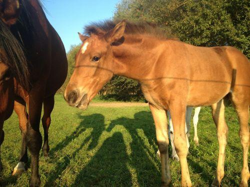 colt horse animals