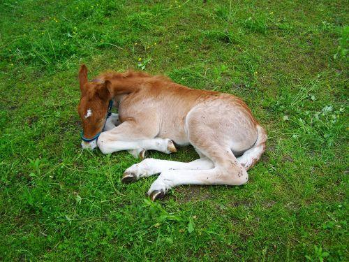 colt relax brown colt