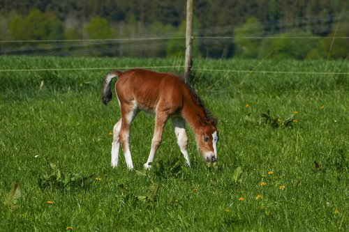 colt browsing  pony foal  brown