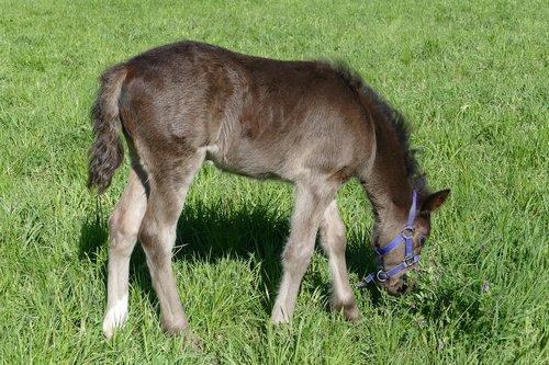 colt browsing  dark grey  paddock
