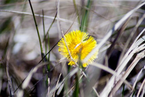 colt's-foot  tussilago farfara  flower