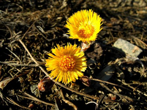 coltsfoot spring spring plant