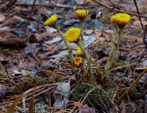 coltsfoot first spring flowers yellow flowers