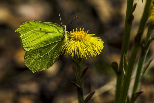 coltsfoot  butterfly  our