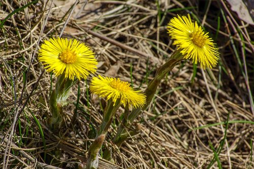 coltsfoot  spring  flower