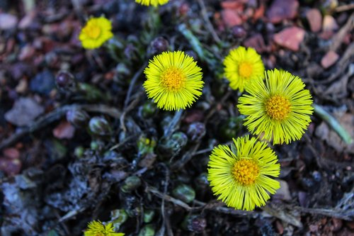 coltsfoot  tussilago farfara  yellow