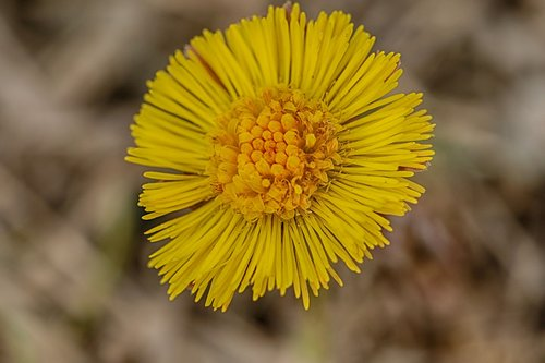 coltsfoot  yellow  spring