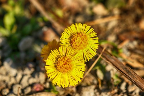 coltsfoot  flower  spring