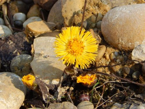 coltsfoot herb flower