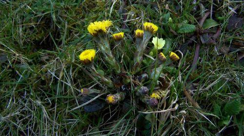 coltsfoot primrose spring heralds