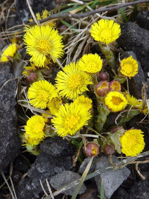coltsfoot spring yellow