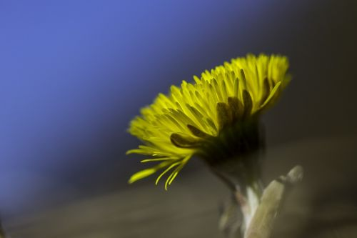 coltsfoot flower yellow