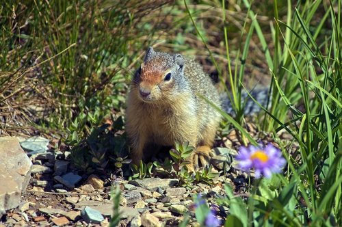 columbia ground squirrel  rodent  animal