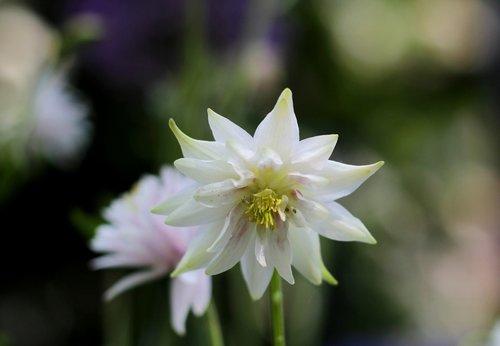 columbia white  flower  garden