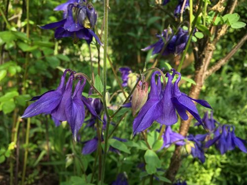 columbine,garden plant,violet,purple,two,flowers,nature,garden,bed,blue violet,flora,green,leaves,panicle,stalk,close