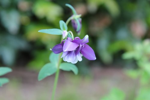 columbine  ancolie purple  purple flower