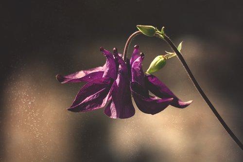 Columbine, Violetinė, violetinė, violetinė Columbine, gėlė, violetinė gėlė, žiedas, žydi, pobūdį, augalų, floros, Sodas, smailu gėlių, laukinių gėlių, Iš arti, žydėjimas