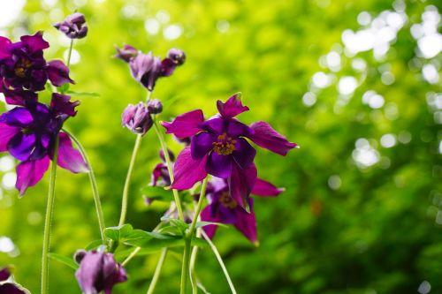 columbine blossom bloom
