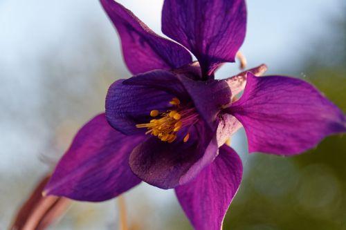 columbine flower blossom