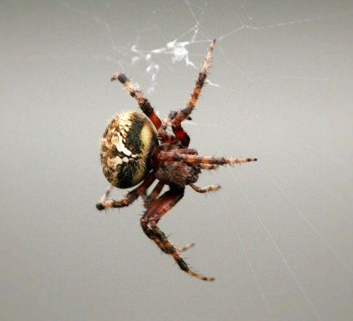 comb-claw spider arachnid web weaving