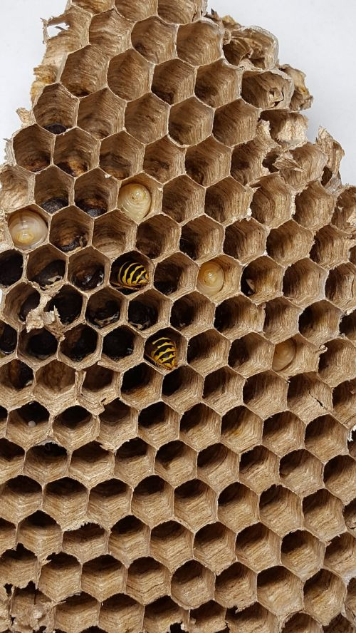 combs bee wasp