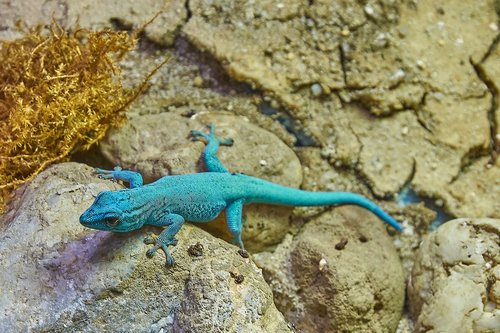 come  turquoise  lizard