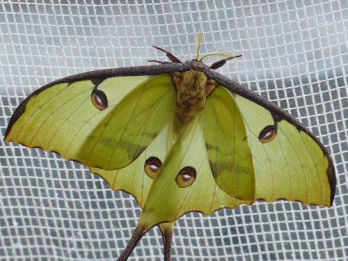 comet moth butterfly large