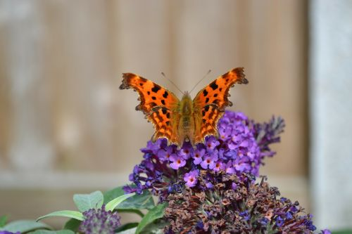 comma butterfly insect
