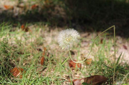 common dandelion flowering