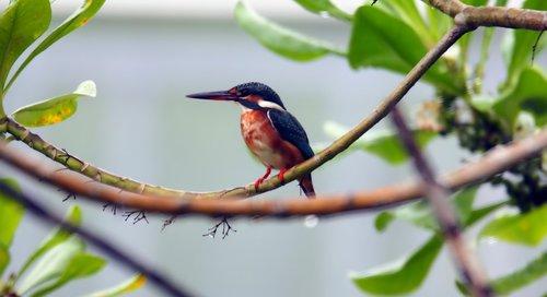 common  kingfisher  king