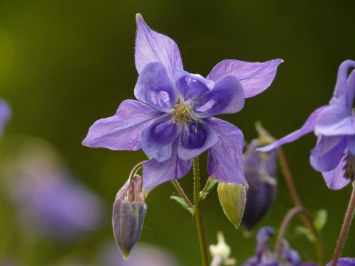 common akelei columbine flower