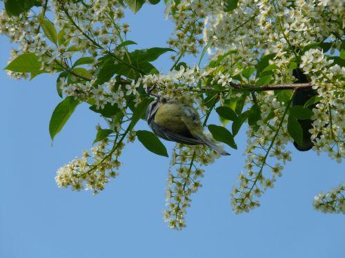 common bird cherry black cherry tree