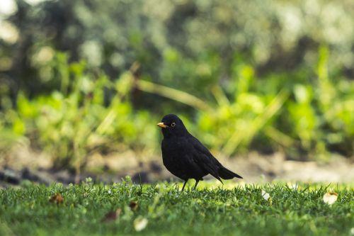 common blackbird park common