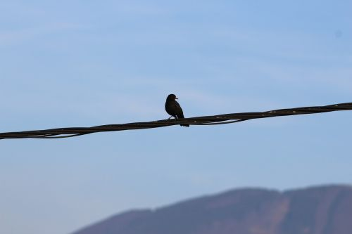 common blackbird bird on a wire blackbird