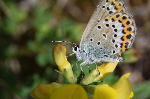 common bläuling  butterflies  macro
