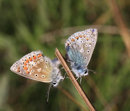 common blue,polyommatus icarus,butterflies mating,westmeath,ireland,nature ireland
