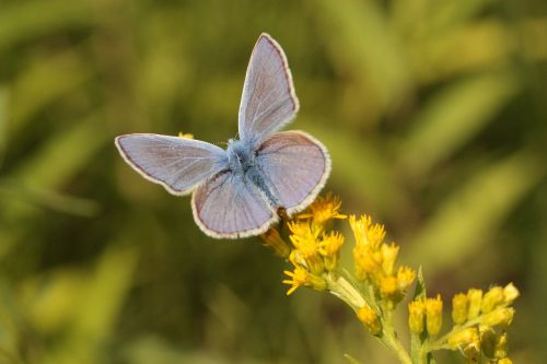 common blue butterfly insect