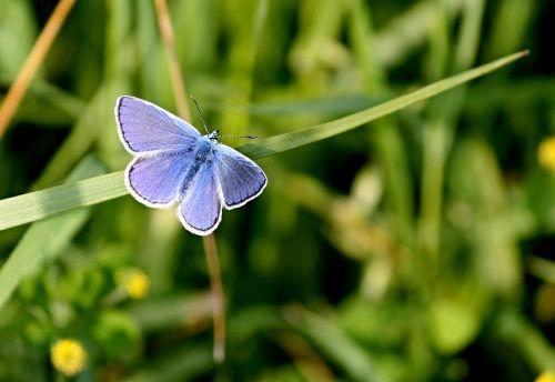 common blue butterfly butterflies