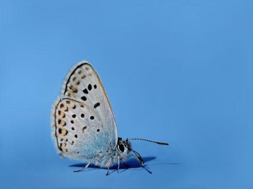 common blue hauhechel blue butterfly
