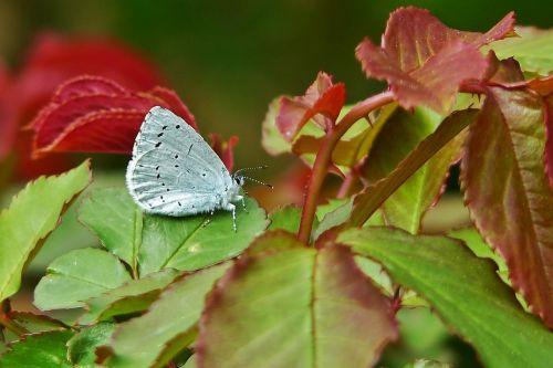 common blue butterflies common bläuling