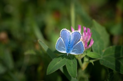 common blue  butterfly  blue