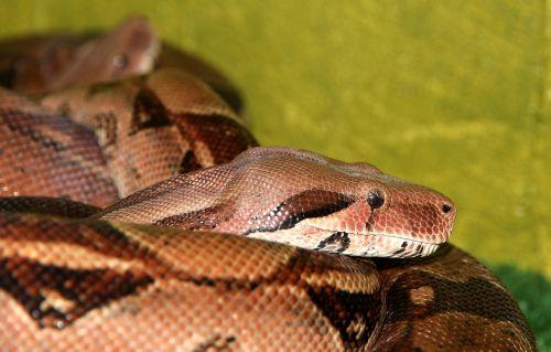 common boa snake boa constrictor