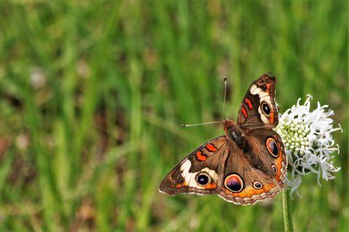 Common Buckeye Butterfly Background