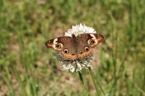 Common Buckeye Butterfly In Field